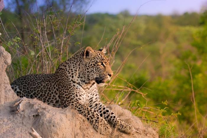 African Leopard, Sabi Sands, South Africa (Daleen Loest)