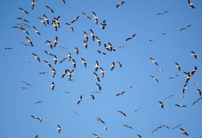 White Stork shutterstock_172442039.jpg