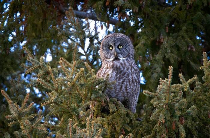 Great-Grey-Owl,-Canada-shutterstock_1368077912.jpg
