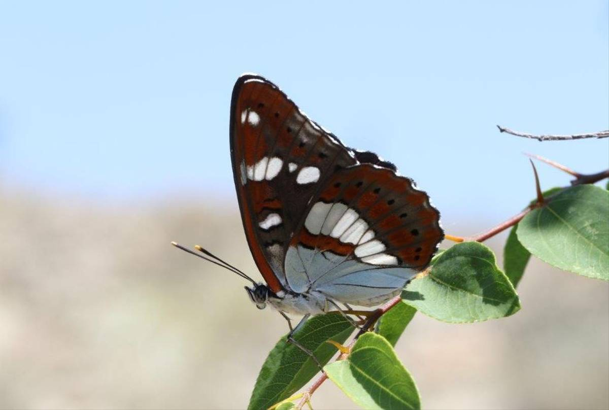 South White Admiral (Gerald Broddelez)