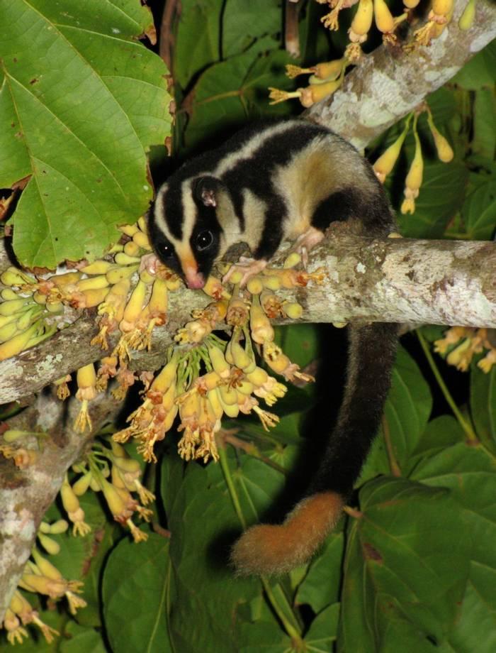Striped possum, Australia. shutterstock_161181902.jpg