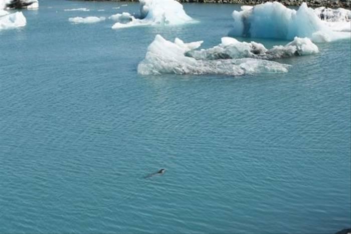 Common Seal, Jokulsarlon
