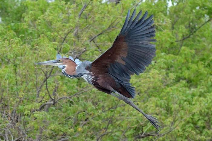 Goliath Heron (Rob Thatcher)