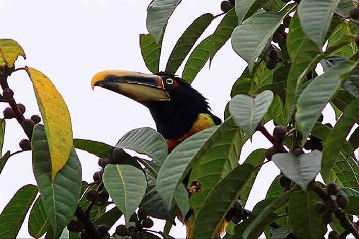 Pale-mandibled Aracari (Robert Davidson)