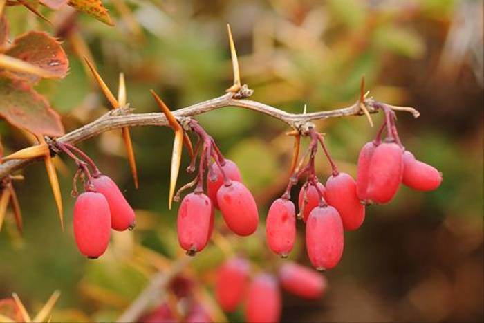 Mt Etna Barberry, <i>Berberis aetnensis</i> (David Morris)
