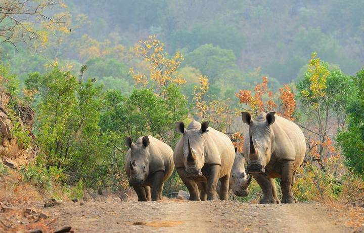 White rhinos on the road