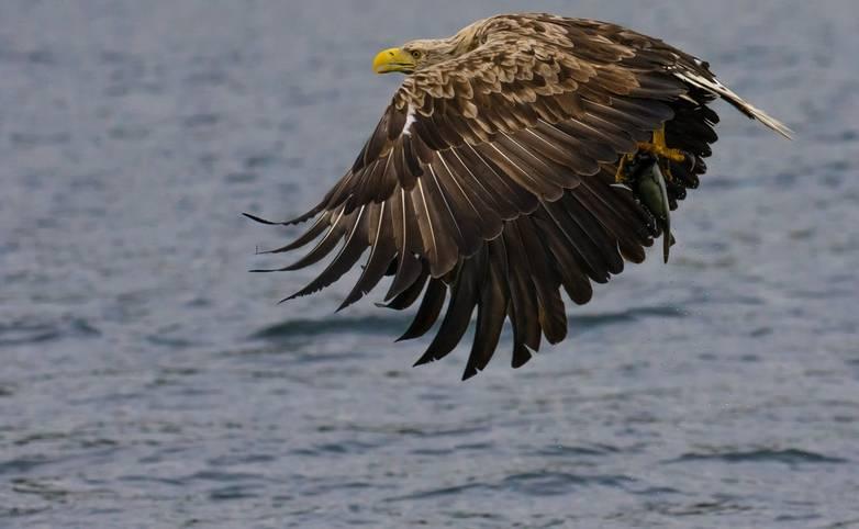 Wildlife - Sea Eagle_AdobeStock_317986763.jpeg