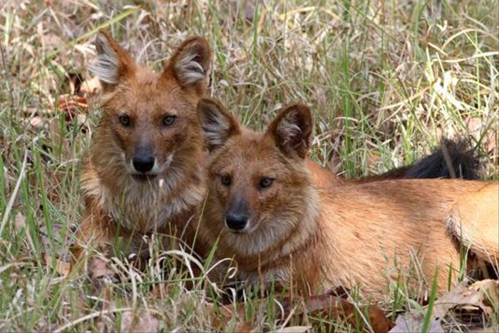 Dhole, Kanha (Ian Williamson)