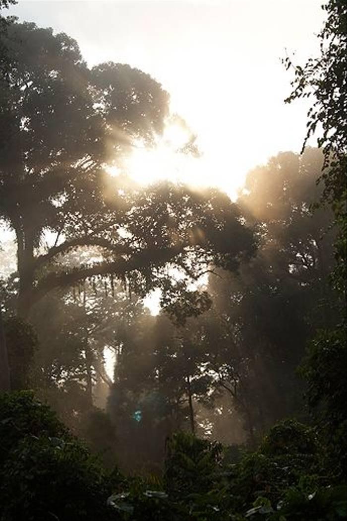 Rainforest Silhouette (Dani Free)