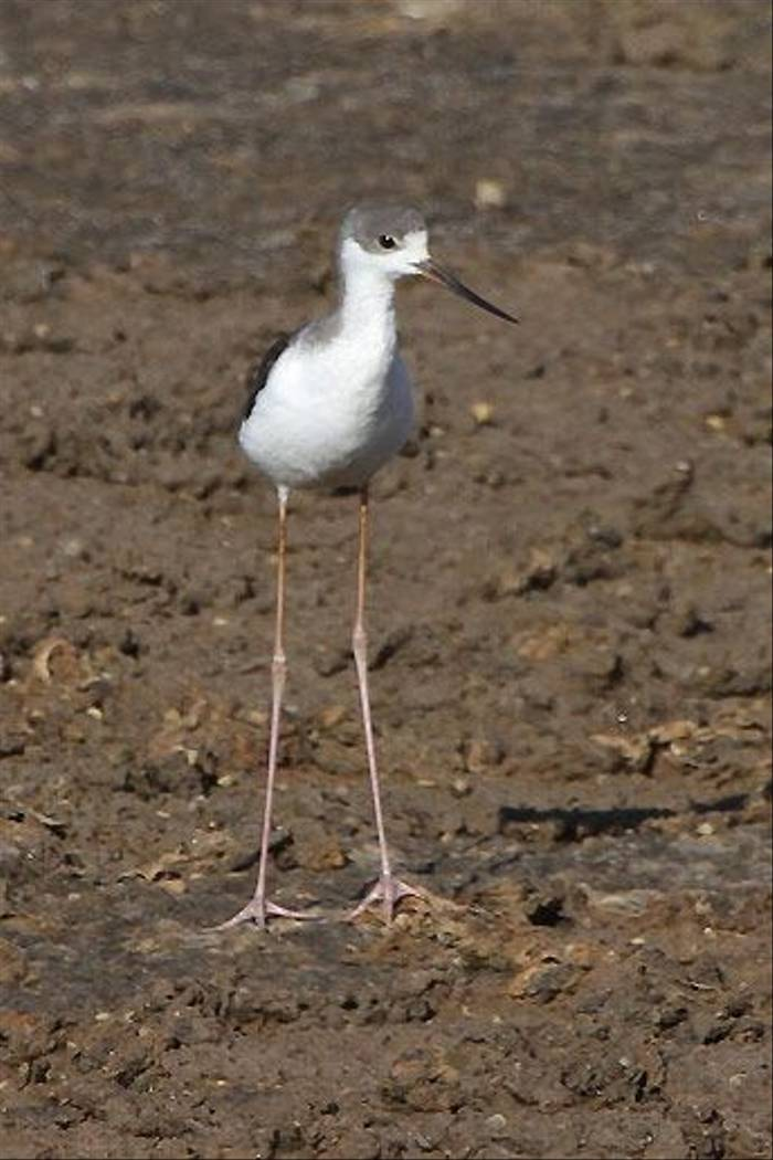 Juvenile Black-winged Stilt (John Crispin)