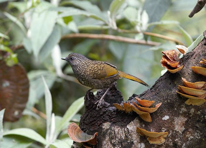 Scaly Laughingthrush  (Sid Francis)
