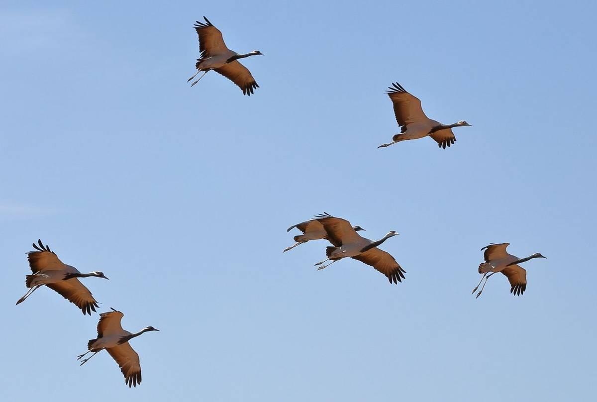 Demoiselle Cranes Shutterstock 795962971