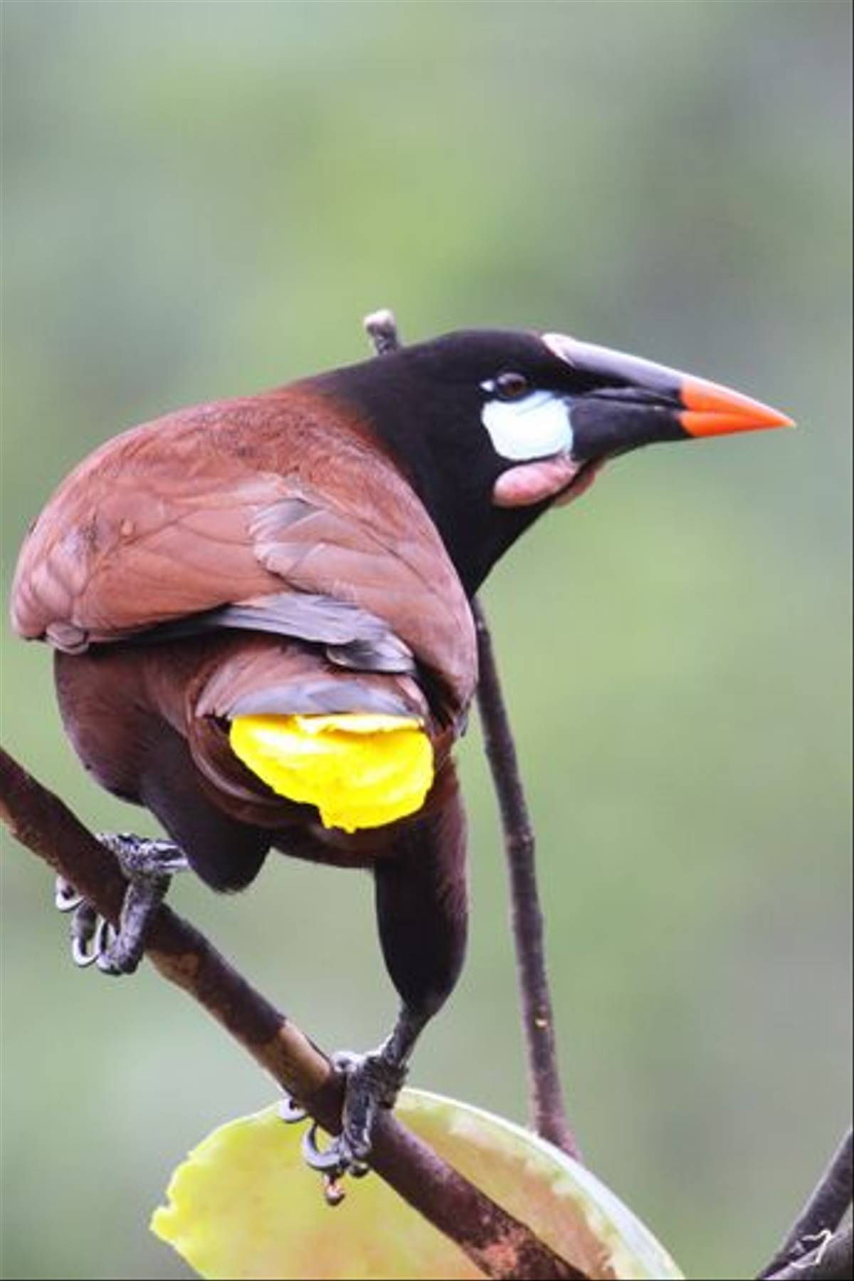 Montezuma Oropendula, Costa Rica (Reagan Smith)
