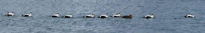Eider Duck train (Charles McMaster)