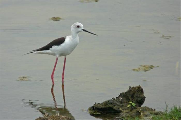 Black-winged Stilt (Rajan Jolly)