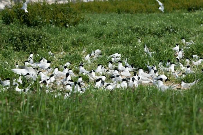 Sandwich Terns (Oliver Smart)