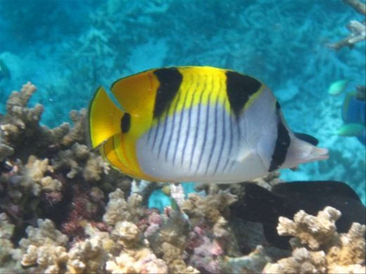 Double-saddled Butterflyfish by Brian W Jones