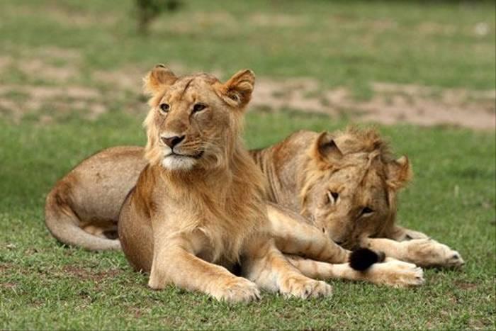 Lion brothers (Bret Charman)