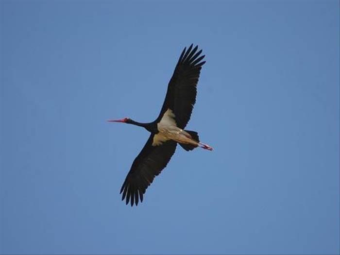 Black Stork (David Morris)