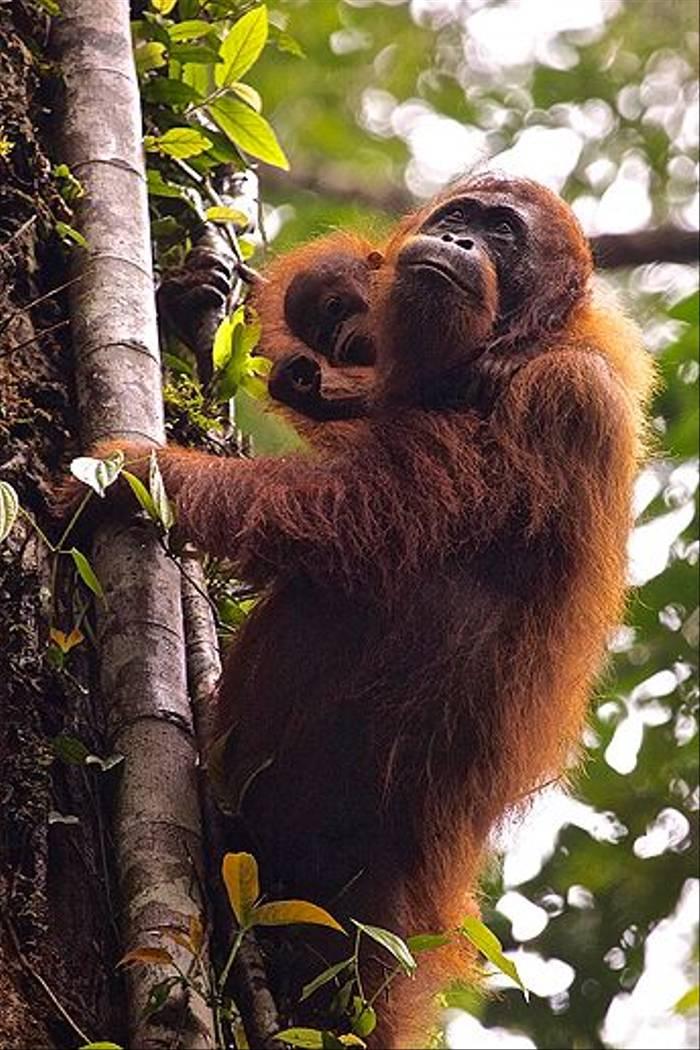 Wild Orangutan mother with baby (Dani Free)