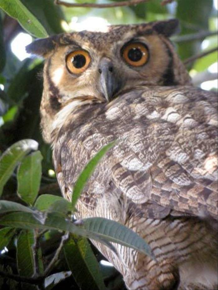Magellanic Horned Owl (Mike Galtry)