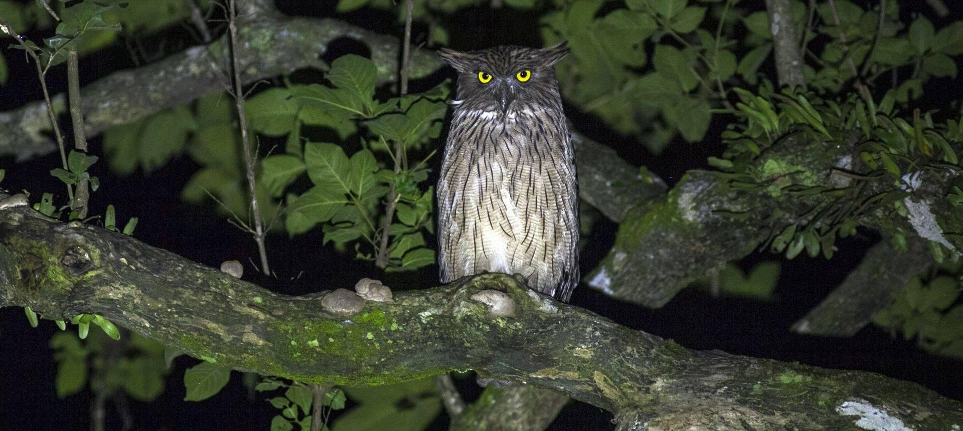 Brown Fish Owl Shutterstock 536942806