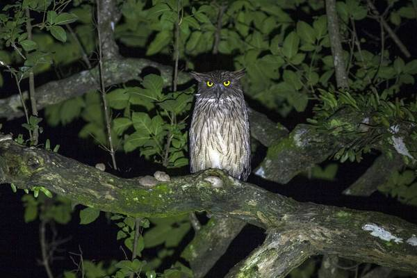 Brown Fish Owl Shutterstock 536942806