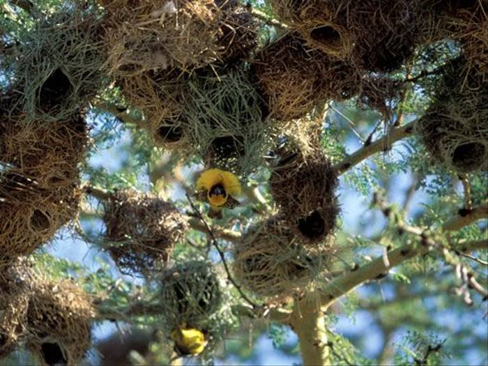 African Masked Weaver (Simon Woolley)
