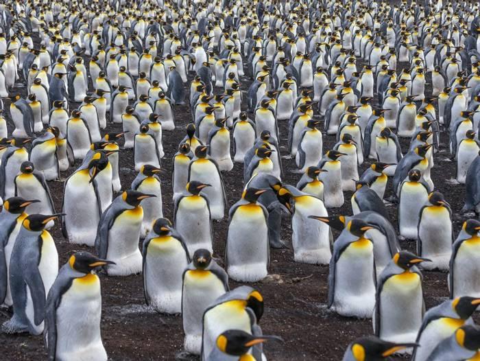 King Penguins incubating eggs, Volunteer Point, Falkland Islands shutterstock_1040057497.jpg