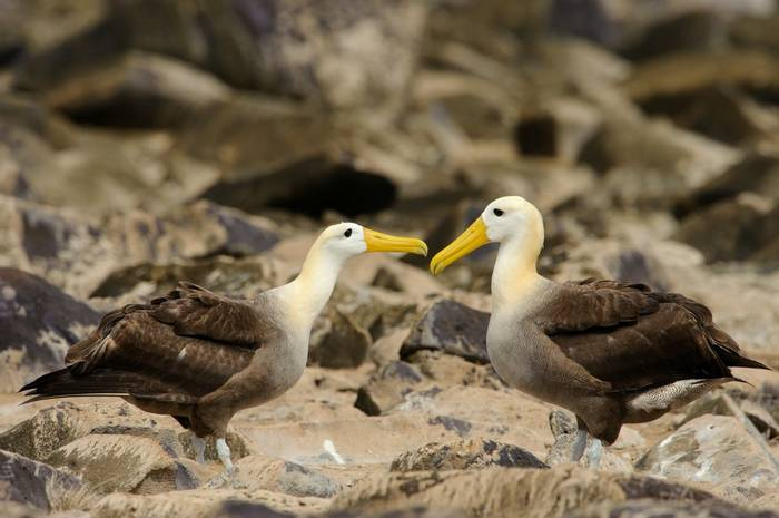 Waved Albatrosses, Galapagos Shutterstock 301018586