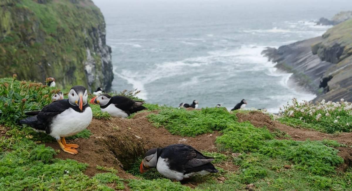 Puffins, Skomer Island, Pembrokeshire Shutterstock 193296389