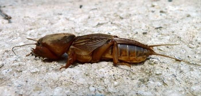 Mole Cricket (Dave Smallshire)