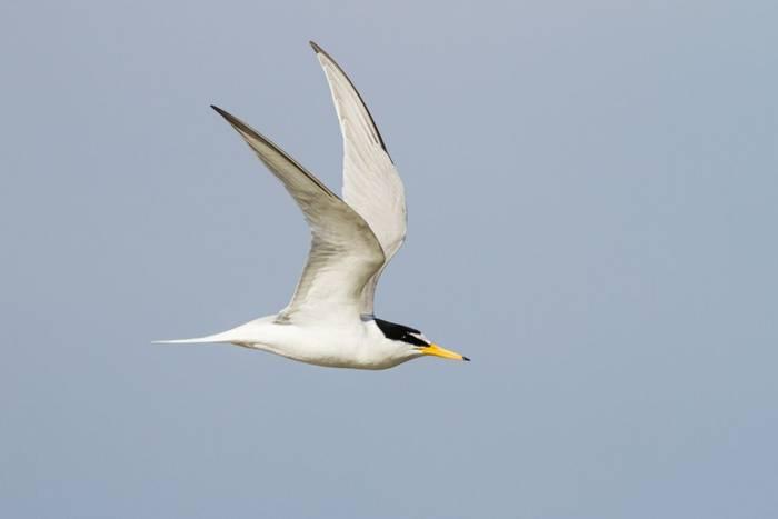 Little Tern shutterstock_1707349726.jpg