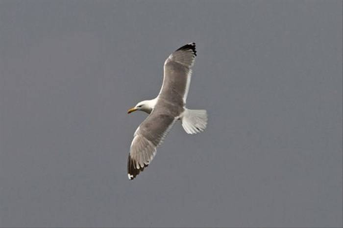 Caspian Gull (Alan Curry)