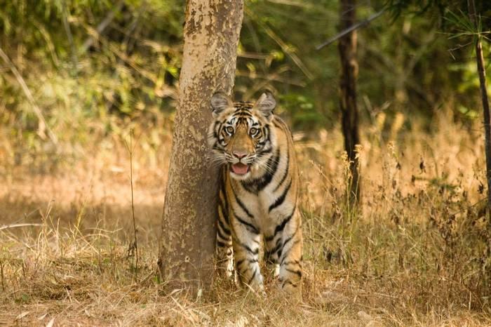 Tiger (Dani Free)