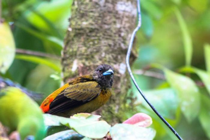 Black-cheeked Ant-tanager Costa Rica shutterstock_566910931.jpg