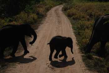 Asian Elephants, Uda Walawe National Park (Thomas Mills)