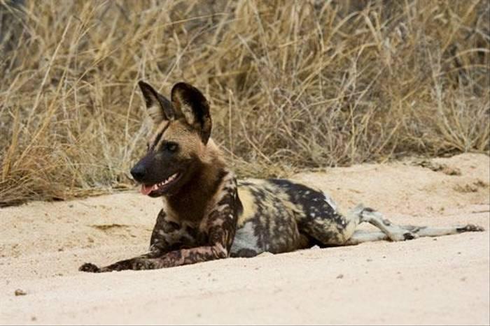 African Wild Dog (Leon Marais)