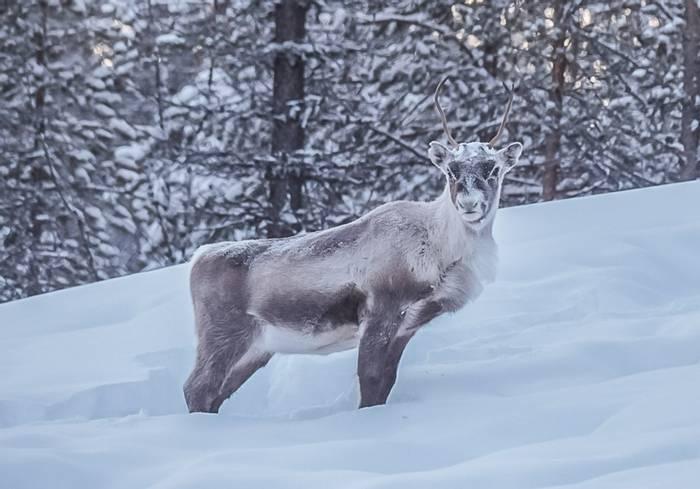 Reindeer  (Ann Miles)