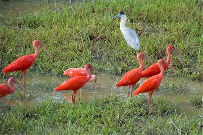 Scarlet Ibis & Capped Heron