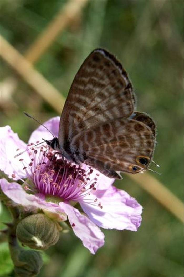 Lang's Short-tailed Blue (Toby Abrehart)