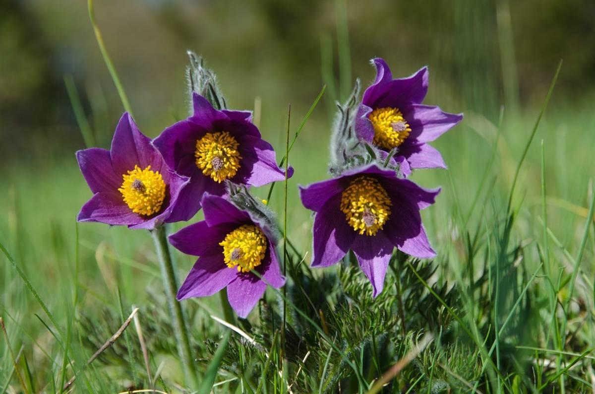 Pasqueflower, Oland, Sweden Shutterstock 274276589