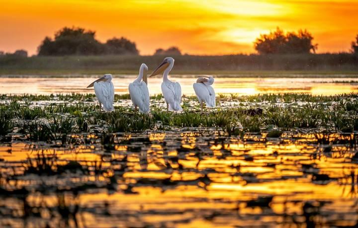 Danube Delta, Romania. Pelicans at sunrise