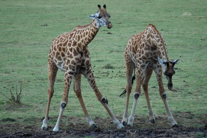 Giraffes (Nick Scarle)