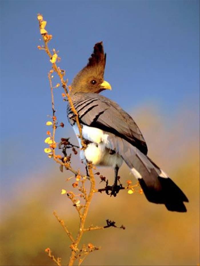White-bellied Go-away Bird (Julia Casson)