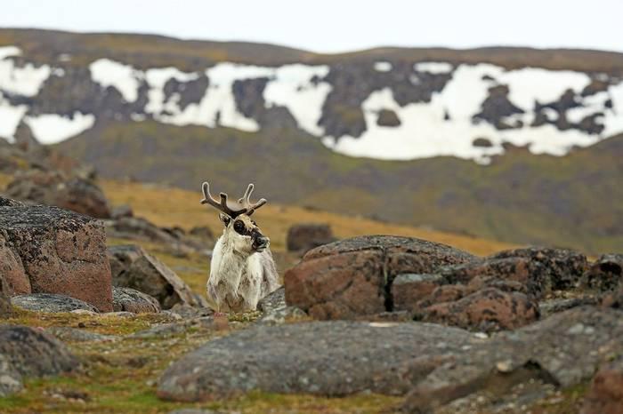 Svalbard Reindeer (Bret Charman)