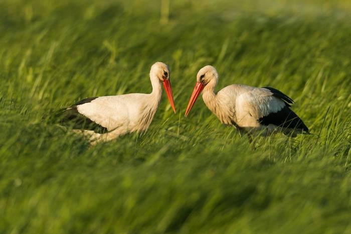 White Storks, Austria Shutterstock 316614002