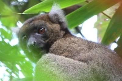 Greater Bamboo Lemur by Lynda Sharpe