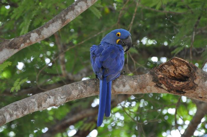Hyacinth Macaw (Sue Edwards)