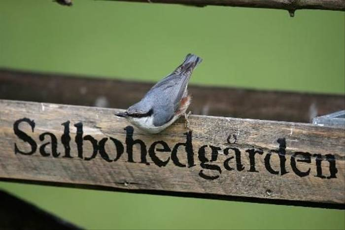 Nuthatch (Gordon Small)